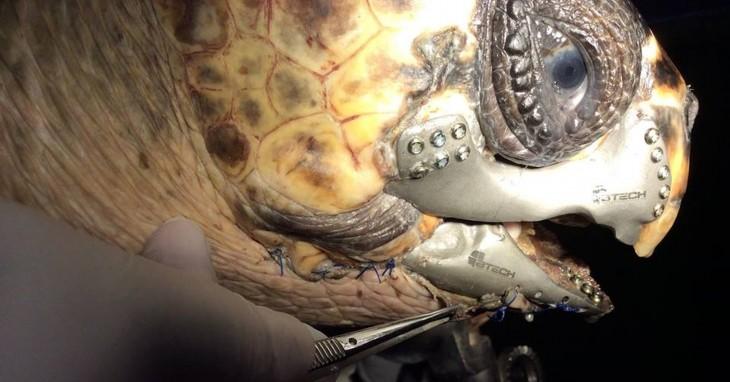 cabeza de una tortuga mostrando su prótesis de mandíbula