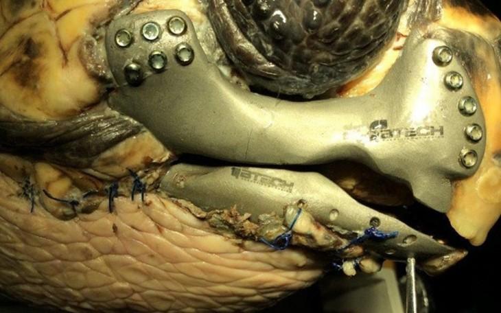 prótesis de mandíbula de metal para una tortuga especie boba en Turquía