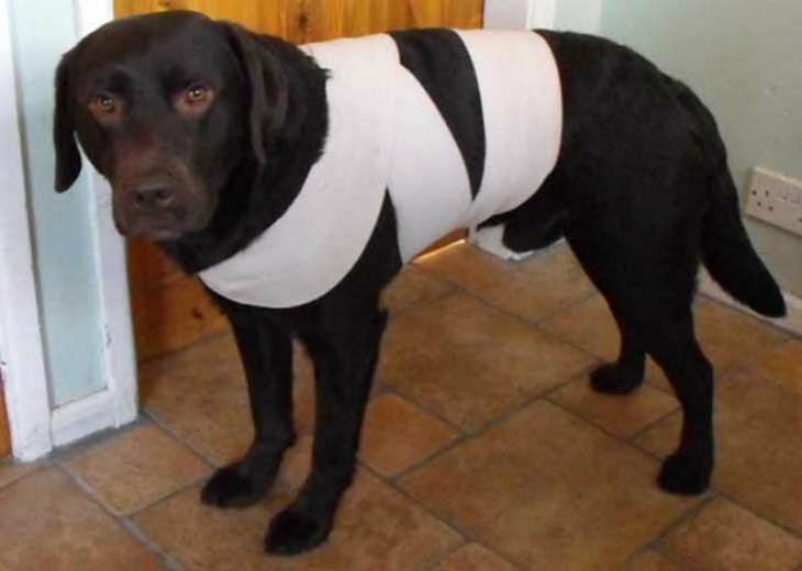 perro con una cinta amarrada al método Tellington Ttouch