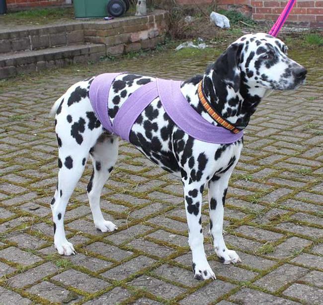 perro dalmata con un vendaje Tellington Ttouch en color lila