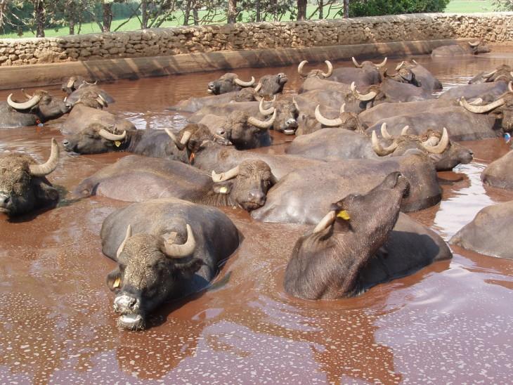 bufalos en su estanque de lodo