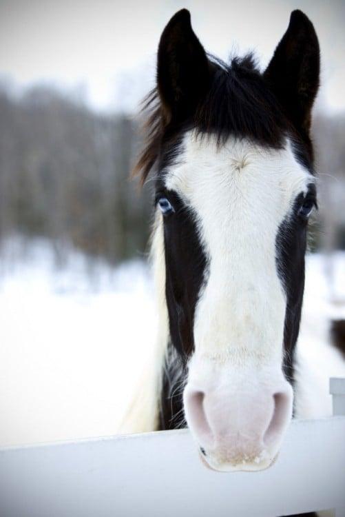 caballo pura sangre, pinto