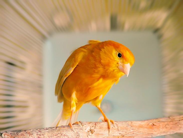 ftografía de canario naranja