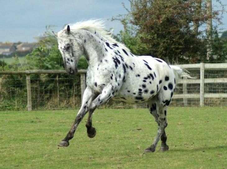caballos de raza appaloosa