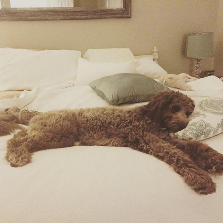 perro lanudo dormido elegantemente