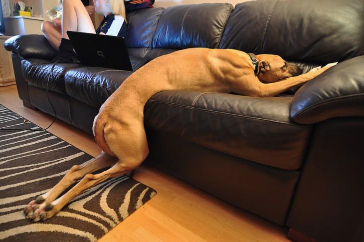 galgo que no alcanzo a subir al sillón antes de quedarse dormido