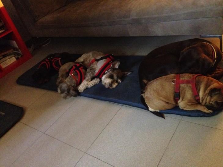 estos perritos ya no responden ante ningún estimulo se encuentran muy cansados