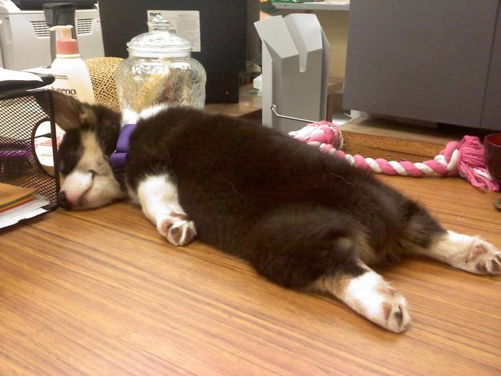 perrito dormido en el escritorio de su dueña
