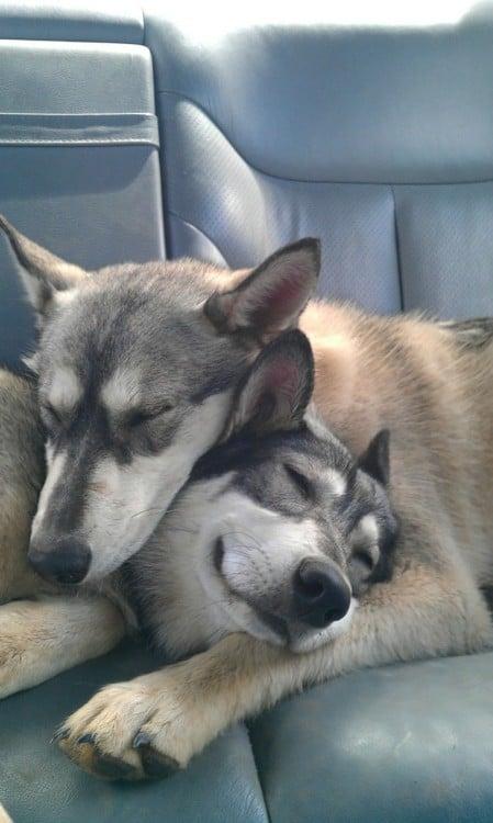 perritos husky dulcemente dormidos abrazados