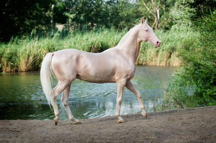 Akhal-Teke caballo dorado