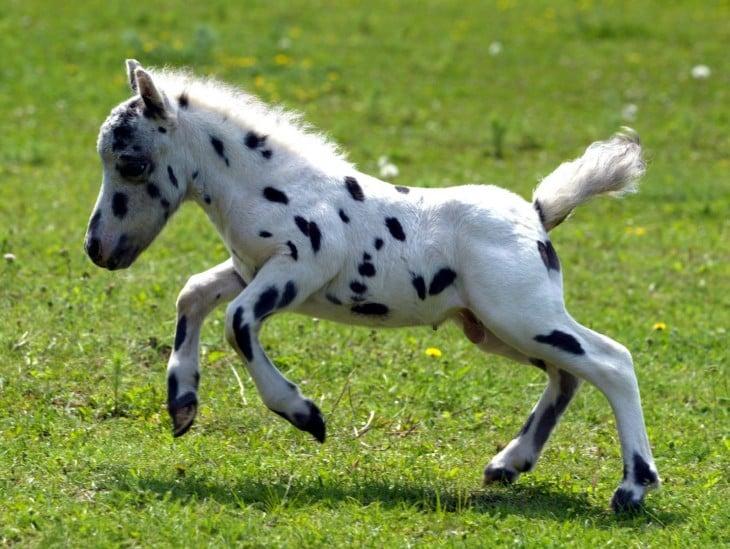 pony falabella pinto