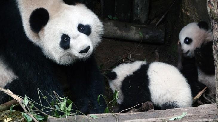PANDA CON SUS PANDITAS