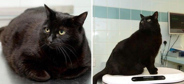 el gato boycus logró bajar 5 kilos