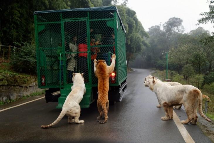 El zoológico al revés humanos enjaulados y animales libres en China