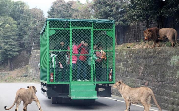 Zoológico donde las personas van en un camión enjaulados mientras observan a los leones caminar libremente