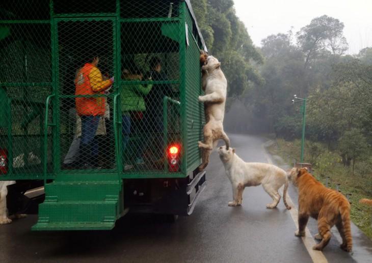 El zoológico al revés humanos enjaulados y animales libres (3)