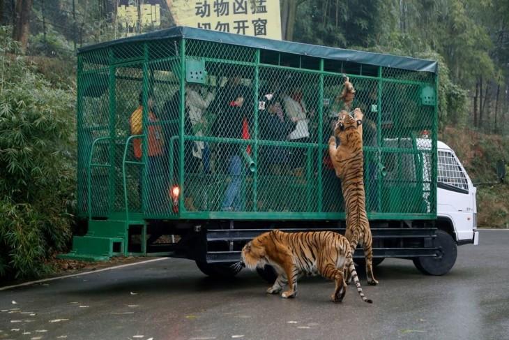 Zoológico en China donde los tigres son alimentados por los visitantes enjaulados