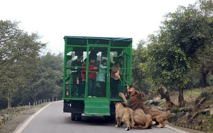 personas visitantes del zoológico Lehe Ledu dando de comer a los leones