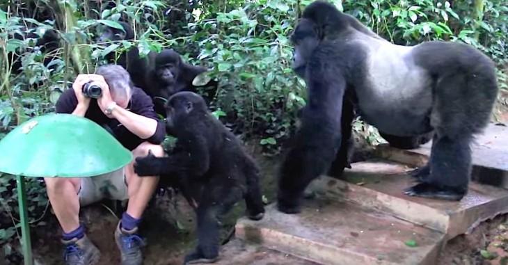 Fotógrafo rodeado de una familia de gorilas