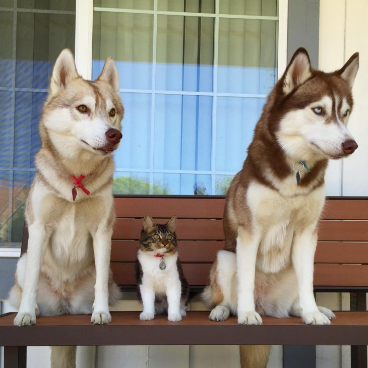 dos perros husky y un gato parados sobre una banca en el parque