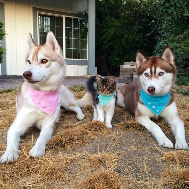 gatita en medio de dos huskys acostados en el patio de una casa