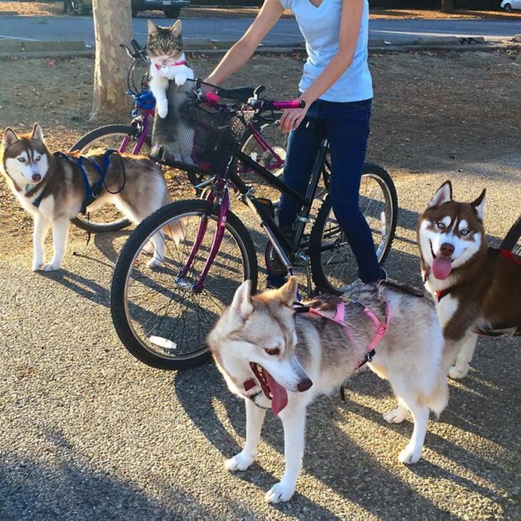 mujer en bicicleta rodeada de 3 perros hukys y un gato
