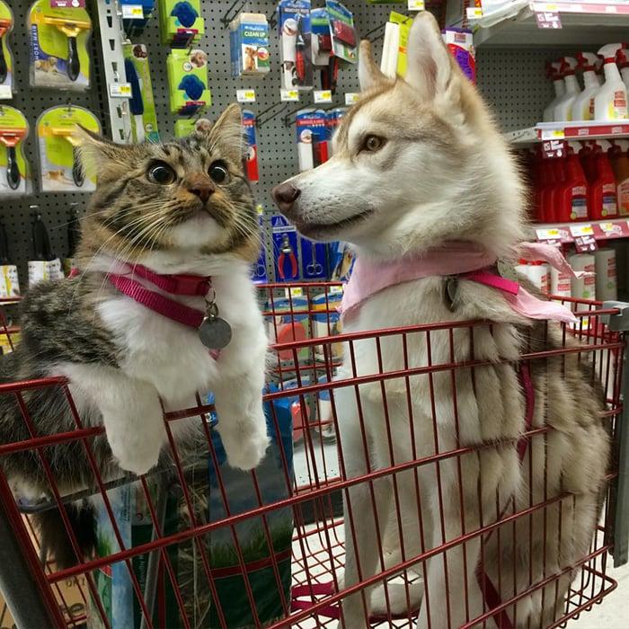 perro husky con una gatita dentro de un carrito de super en un centro comercial