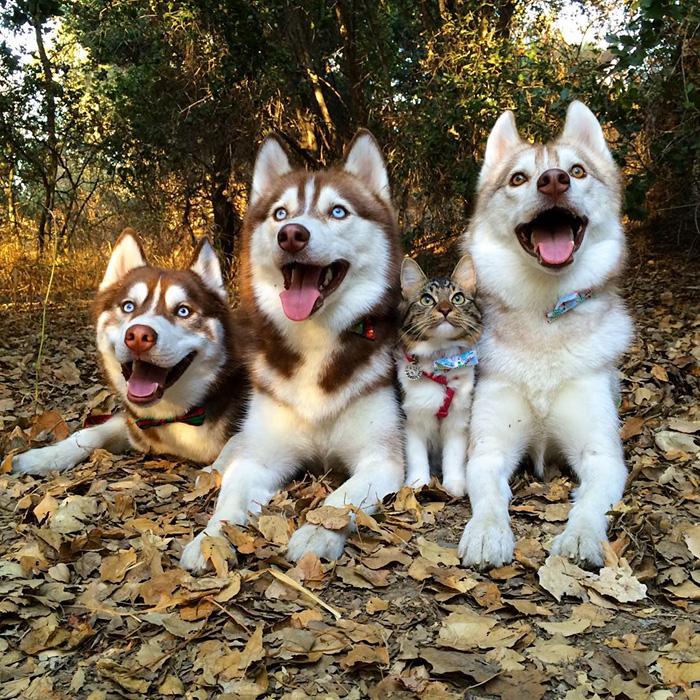 tres perros huskys con una gatita entre ellos