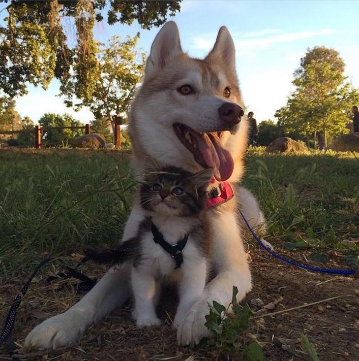 perra husky con un gato en medio