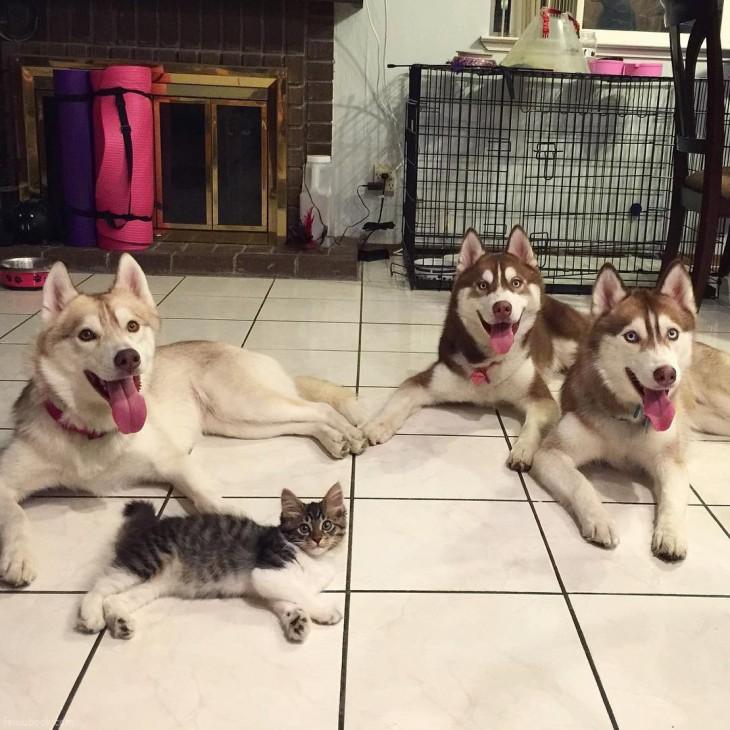 perros huskys y un gato acostados en el suelo de una casa