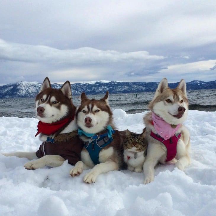3 huskys en la nieve con Rosie una pequeña gatita adoptada