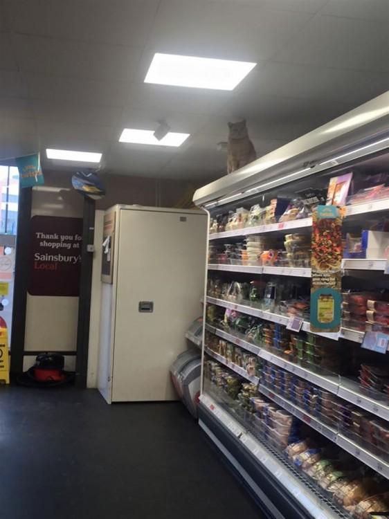 gato sobre los estantes de una tienda en Londres, Inglaterra