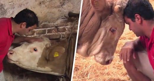 reacción de un toro al ser liberado después de pasar toda su vida encadenado