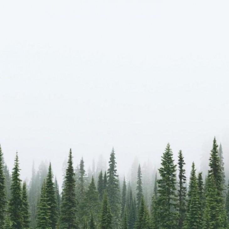 fotografía de las puntas de pinos en unos bosques