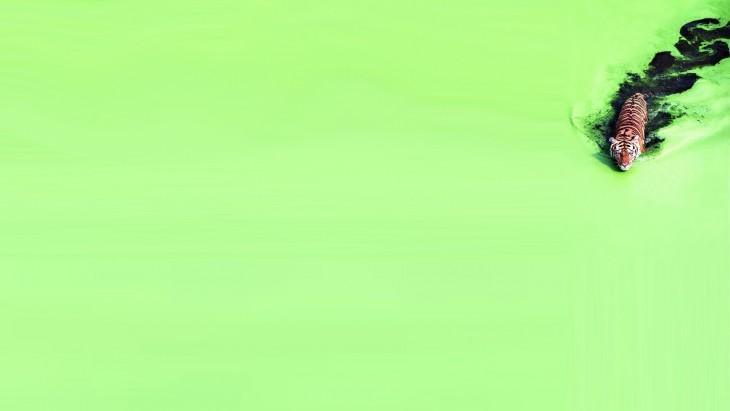 Fotografía de un tigre nadando sobre un lago en color verde