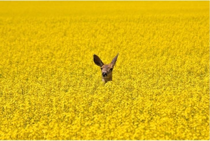 Cabeza de un venado entre flores de color amarillo