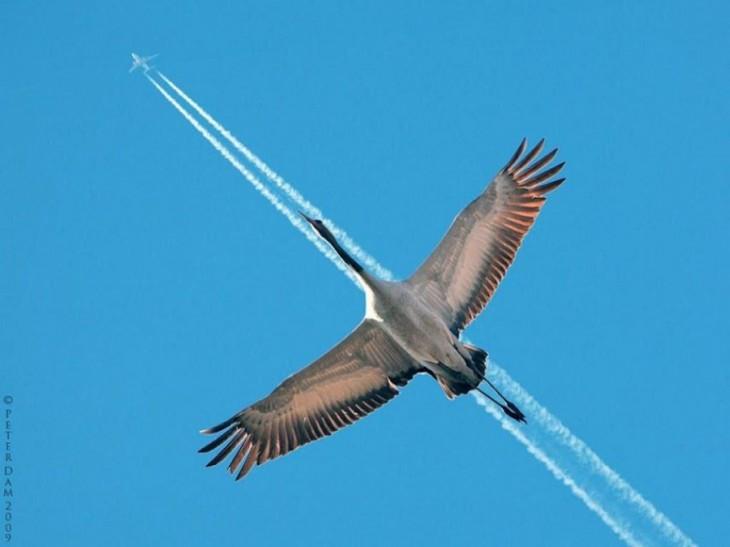 fotografía de un ave siguiendo la trayectoria de un avión en el cielo