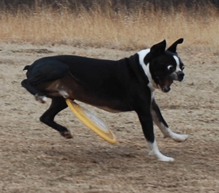 captura que muestra el momento en que un bumeran está a punto de golpear a un perro bulldog