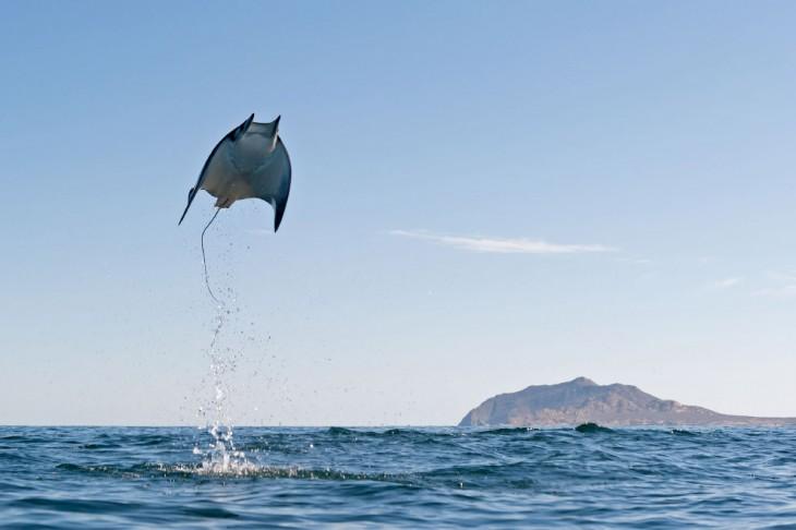 mantaraya dando un salto fuera del agua