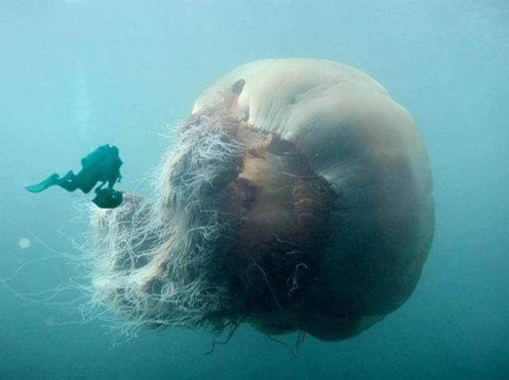 buzo en la superficie del mar cerca de una medusa gigante