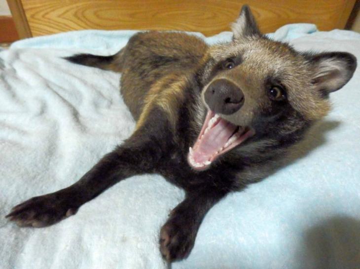 Tanuki el perro mapache famoso de twitter