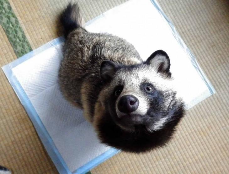 Tanuki, el perro mapache que todos quieren tener