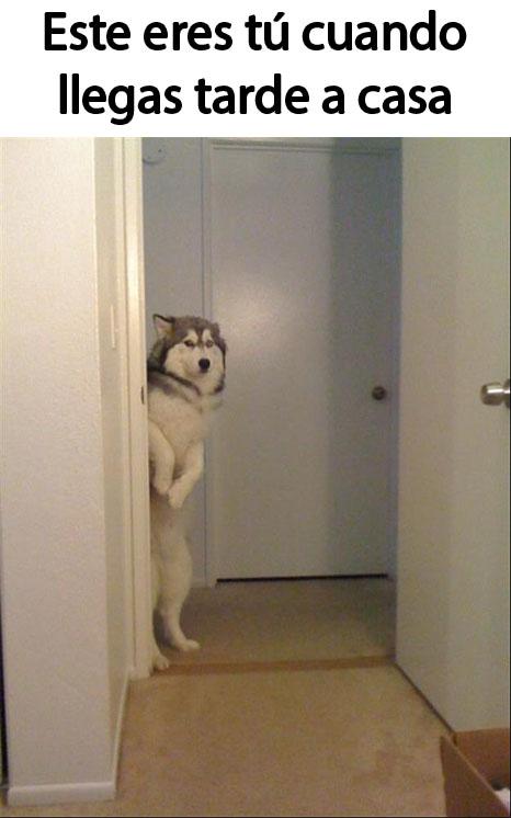 meme de un perro parado en dos patas que simula ver como te ves cuando llegas tarde a casa