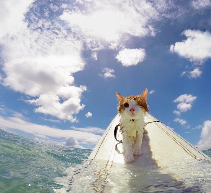 Kuli, el gato tuerto en Hawaii que ama nadar y surfear