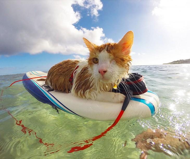 Kuli un gatito tuerto sobre una tabla de Surf en las costas de Hawai