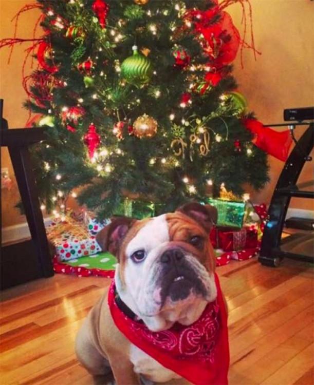 Fotografía de un perro bulldog sentado frente a un árbol de navidad