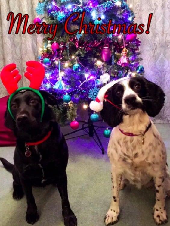 Dos perros con atuendo navideño frente a un árbol de navidad