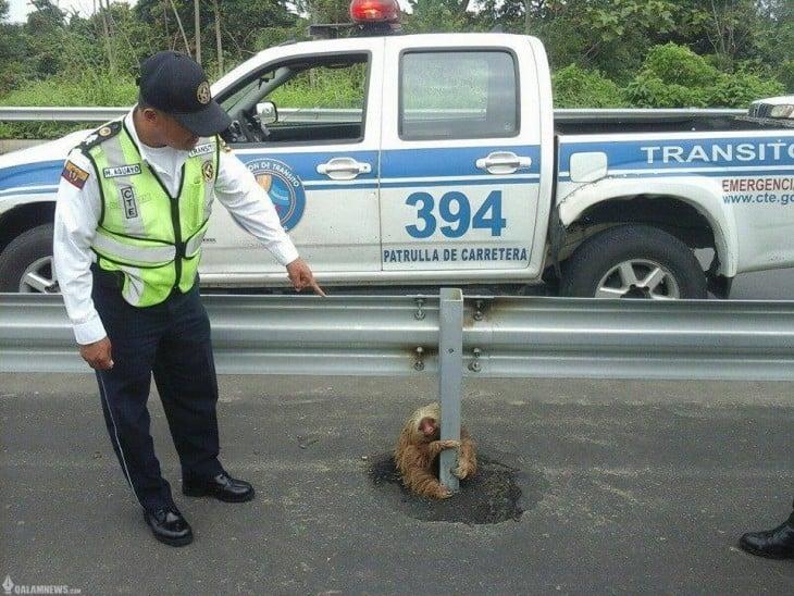 Policía de Ecuador rescata perezoso de una carretera