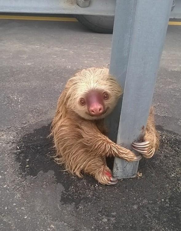 oso perezoso abrazado de un poste en la mitad de una carretera