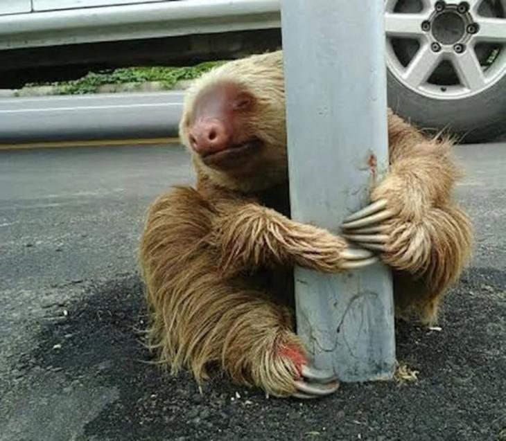 oso perezoso asustado a la mitad de una autopista en Los Ríos, Ecuador